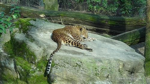 Sri Lankan Leopard, Burgers Zoo, Arnhem, Netherlands - 1158