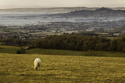 A sheep in somerset.