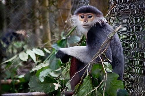 Grey-Shanked Douc Langur at The Endangered Primate Rescue Center - Cuc Phuong National Park, Vietnam