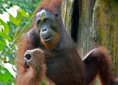 Orang Utan (Pongo pygmaeus) male