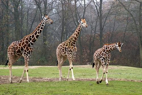 Giraffes Burgers Zoo Arnhem