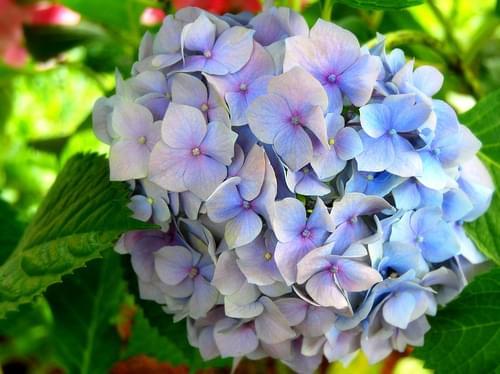 Trabzon flower