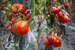Real Tomato