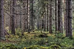 Metsä (HDR)