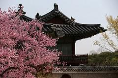 Korea_Palace_Spring_Flowers_12