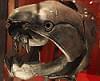 Dunkleosteus terrelli - placoderm fish skull - Smithsonian Museum of Natural History - 2012-05-17